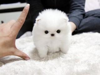 ,Pomeranian štěňátka  bez PP