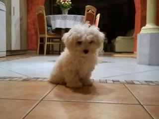 ,Bolonský psík s preukazom pôvodu-šteniatko na predaj