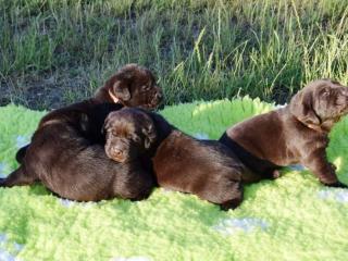 ,Štěňátka Labradorského retrívra