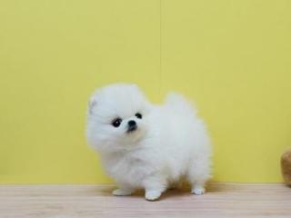 ,Pomeranian štěňátka