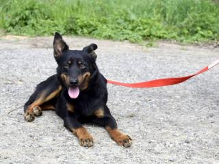,PILSY mini 1-ročný psík vlčiak hľadá milujúci domov