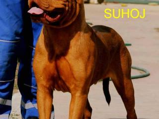 ,Dogue De Bordeaux - young male