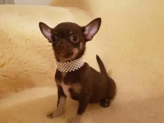 ,chihuahua krátke vlasy šteňa pre prijatie