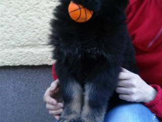 ,Predám šteniatka nemeckého ovčiaka.