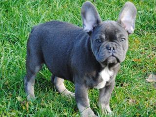 ,Francúzsky buldoček šteňa