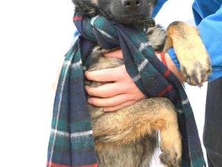 ,KLEOPATRA zlatíčko malé šteniatko nemecký ovčiak