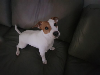 ,  Jack Russell terier