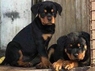 ,Rottweiler šteňatá na predaj