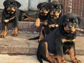 ,Rottweiler škodcov na predaj