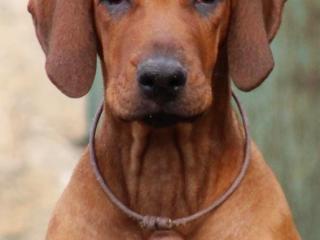 ,Rhodesian ridgeback šteniatko s Pp