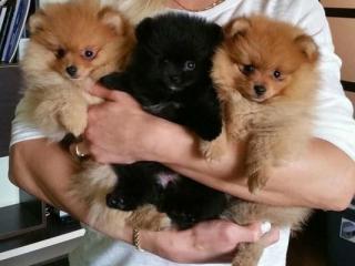 ,Zdravé Pomeranian šteňatá