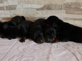 ,Doberman šteniatka a dva dospelé psy na predaj