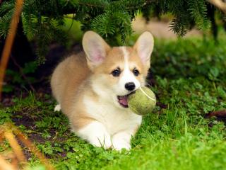 ,Welsh Corgi pembroke šteniatka na prijatie
