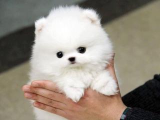 ,Pomeranian šteniatka na predaj