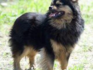 ,ARNOLD milučký psíček kríženec čivava