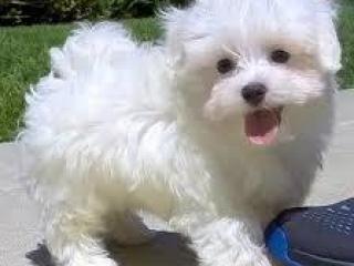 , Maltské šteniatka
