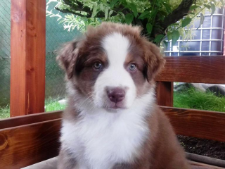 ,Austrálsky ovčiak - šteniatka s PP
