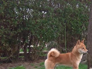 ,Darujem psíka Shiba inu
