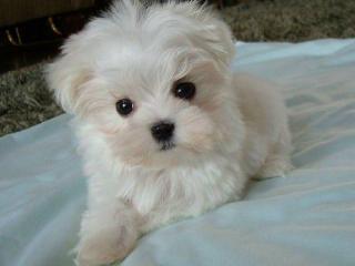 ,Roztomilé maltézske šteniatka