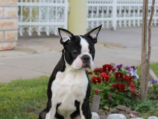 ,Boston Terrier Dvaja muži na predaj