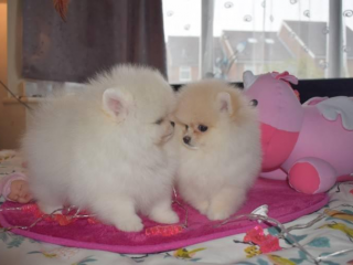 ,Pomeranian boo originál