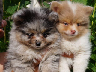 ,Pomeranian Spitz