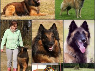 ,Belgický ovčiak Tervueren (šteniatka) s PP