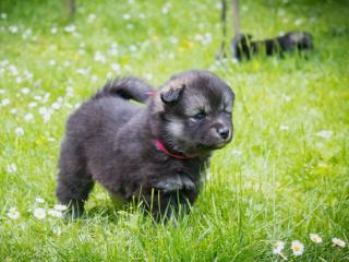 ,fínsky laponský pes - lapikoira