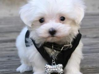 ,maltézske šteniatka
