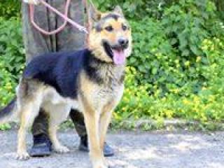 ,Astor verný rodinný psík strážca nemecký ovčiak