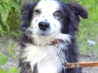 ,Cyril krásny a nežný psík kríženec border kólia