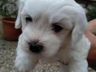 ,Maltezsky psík