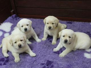 ,Labrador - šteniatka s rodokmeňom pôvodu s PP