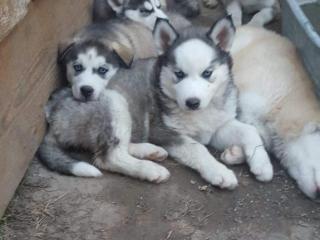 ,Sibirsky husky