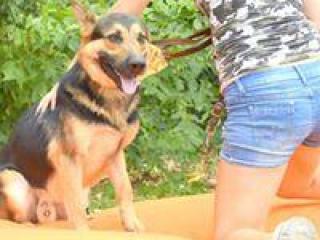 ,Ashar priateľský a učenlivý rodinný psíček nemecký ovčiak
