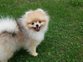 ,Pomeranian- prodám fenky s PP