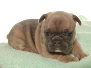 ,Francúzske buldog modré šteniatka na predaj