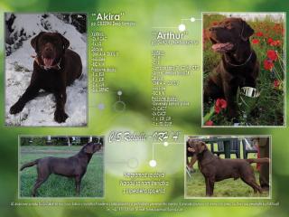,Labrador Retriever - čokoládové šteniatks s PP
