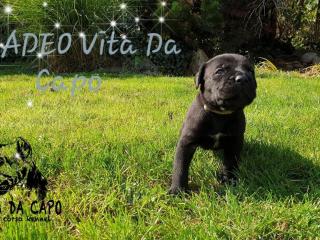 ,Vita Da Capo cane corso kennel, born 17.9.2018
