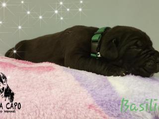 ,Vita Da Capo cane corso kennel, born 22.9.2018