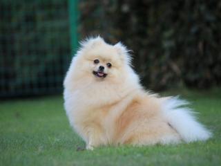 ,Pomeranian-prodám fenku s PP