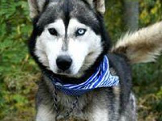 ,Frenky prekrásny psíček Husky