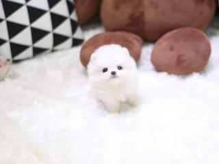 , Pomeranian šteňa na predaj.