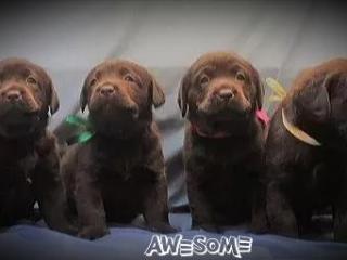 ,Labrador steniatka Cokoladove Labrador steniatka
