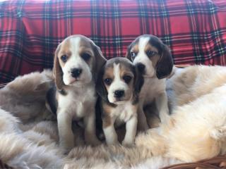,Krásne beagle šteňatá