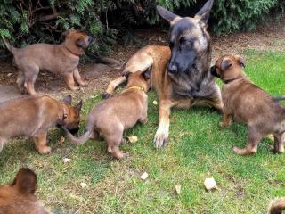 ,Belgickí šteniatka Malinois