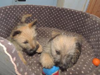 , Registrované šteňatá Cairn Terrier