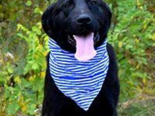 ,Dasty krásny usmiaty čierny labrador