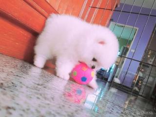 ,Pomeranian šteniatka