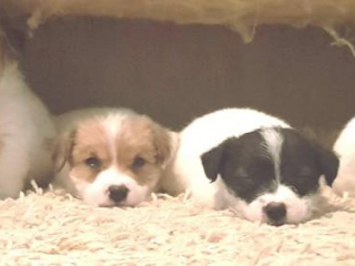 ,Jack russell terrier s PP